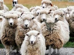 Lobo vestido de oveja imagesCAZVLE4E